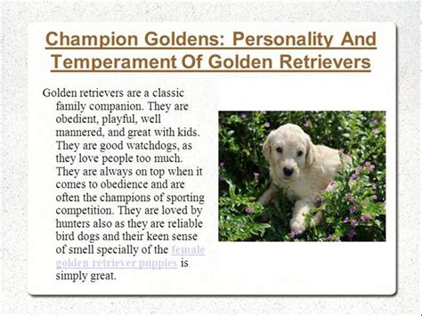 characteristics of golden retrievers chion goldens personality and temperament of golden retrievers authorstream
