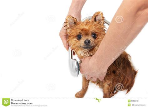how to bathe a pomeranian a pomeranian taking a shower with soap and water on white background in