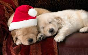 Cute christmas puppies wallpapers pictures pics images photos