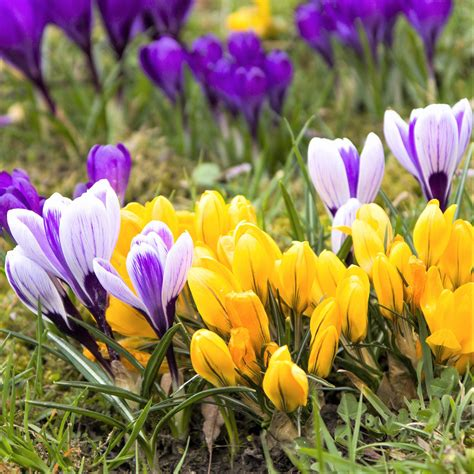 crocus large flowering mix easy  grow bulbs