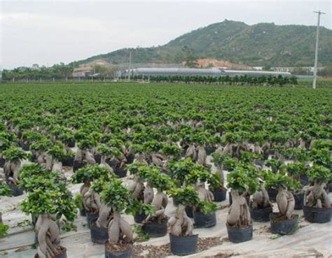 ficus microcarpa ginseng losing leaves images