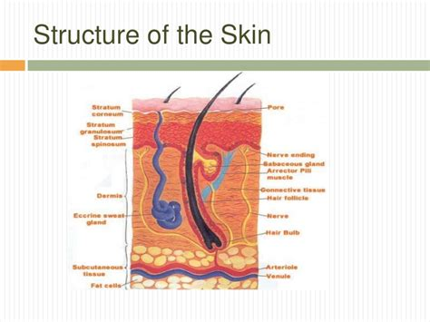 diagram of the skin skin structure