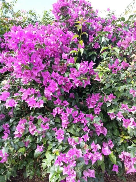 florida flowering shrubs bougainvilleas bougainvillea glabra are one of the most
