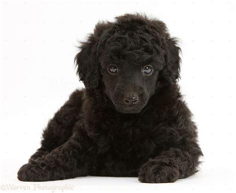 Toys Black black poodle pup 7 weeks photo wp27483