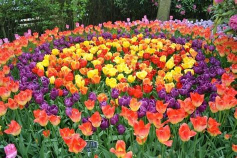 fiori tulipani tulipani rosa significato fiori tulipani rosa fiori