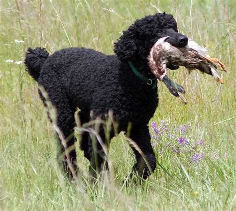 are poodles dogs poodle spirit animal totems and messages