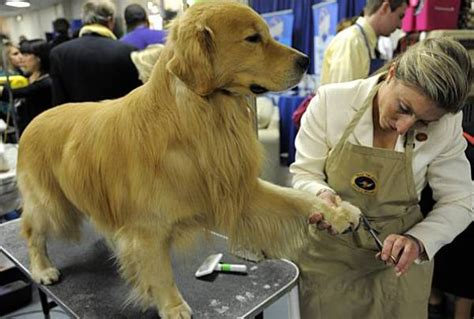 are golden retrievers intelligent america s premier show hosts 3 new breeds 25 pics the pets central