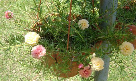 Benih Bunga Jam Empat semua menjadi halamannya dihiasi bunga kembang sepuluh pagi