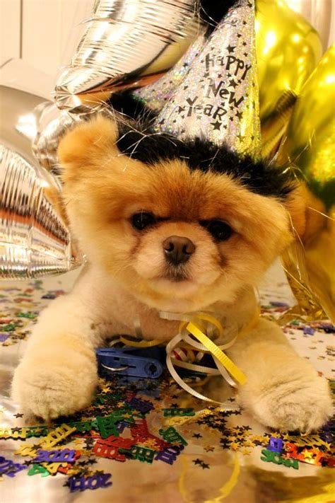 boo the dog christmas happy birthday boo the world s cutest stylecaster