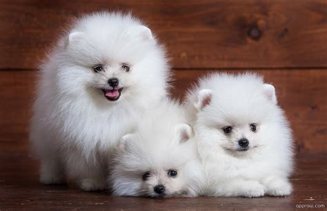 pomeranian puppies white white pomeranian puppies wallpaper hd wallpaper appraw