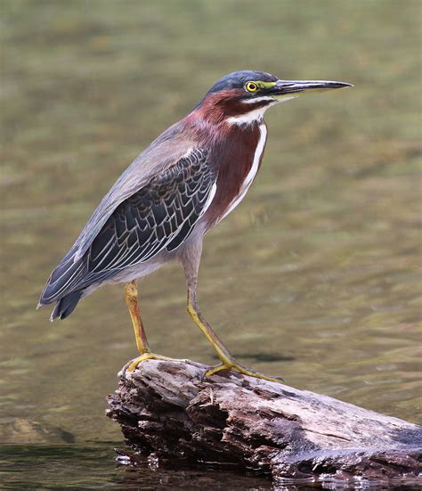 what color is heron green heron