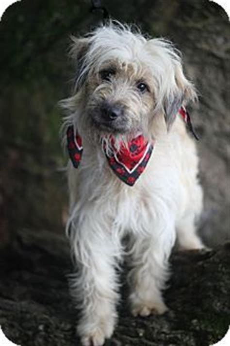 briard mix 54 best images about ocd dogs mixed breeds on pinterest