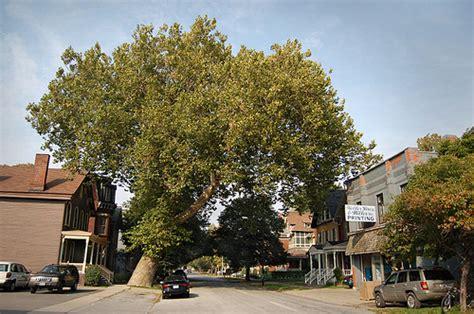 tree farms buffalo ny the oldest tree in buffalo ny flickr photo