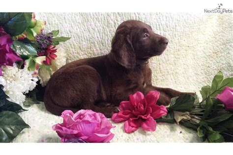 chocolate labradoodle puppies for sale near me gorgeous gertie beautiful chocolate labradoodle puppy for sale near springfield