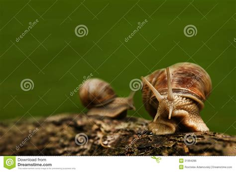 Dust Snail Green background with two snails on wood royalty free stock image image 31994286
