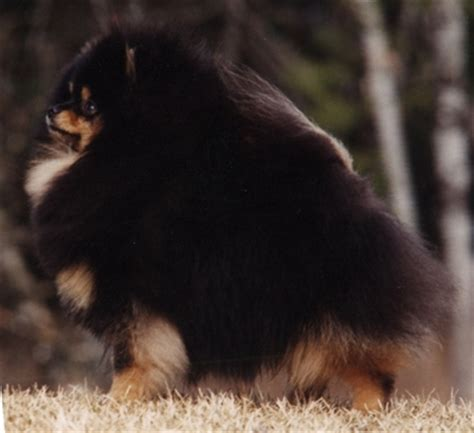 chriscendo pomeranians chriscendo pomeranians can am ch chriscendo colour picture quot lyleth quot
