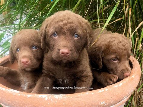 chesapeake puppies longmeadow kennels chesapeake bay retriever puppies for sale