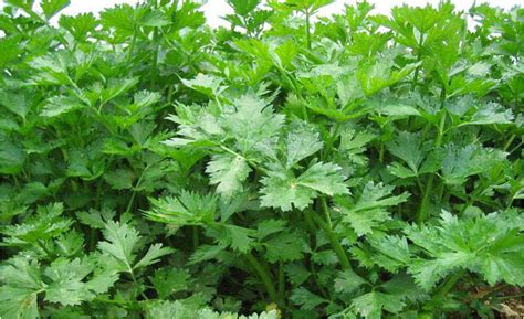 Benih Tanaman Seledri budidaya seledri tanam sayuran