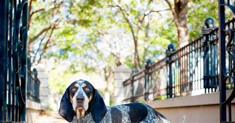 bones a bluetick coonhound 187 nuance pet photos blog