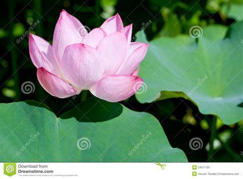 one leaf lotus lotus flower with leaf stock image image of beautiful