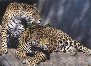 How Do Jaguars Adapt To The Rainforest Jtscience Animals And Their Adaptations In The Tropical