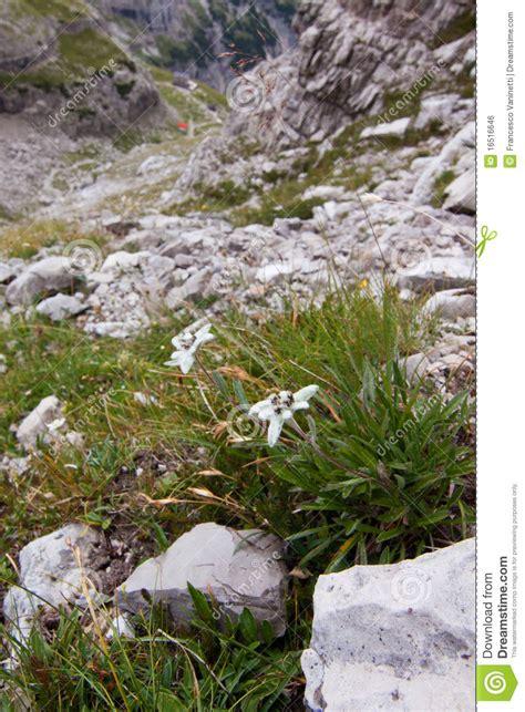 edelweiss fiore alpino fiore alpino di edelweiss fotografia stock immagine di