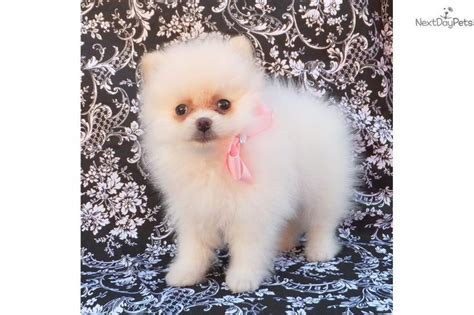 teacup pomeranian for sale utah 17 best ideas about white pomeranian on teacup dogs pomeranians and