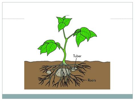 Planter Meaning by Asexual Reproduction Of A Flowering Plant