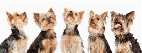 how often should a yorkie puppy eat why you should feed your terrier royal canin 174
