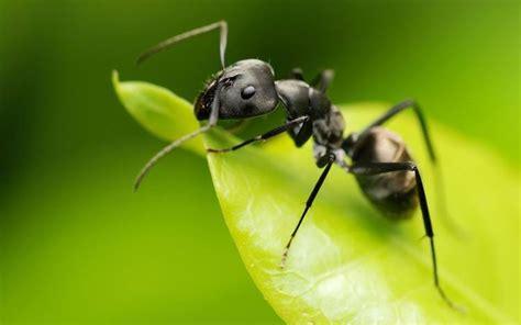 imagenes de la vida de las hormigas 191 cu 225 ntos a 241 os vive una hormiga