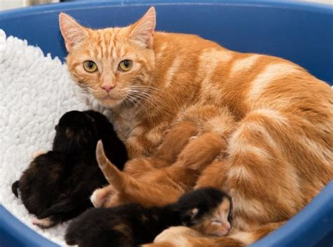 One Story Houses Ginger Cat Mama Came To The Shelter With A Big Belly Then