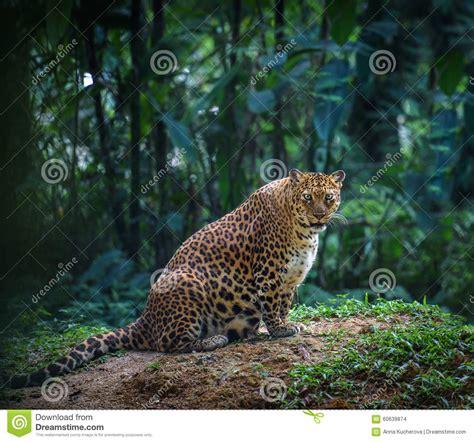 Imagenes De Jaguar Hembra | hembra embarazada del jaguar foto de archivo imagen de