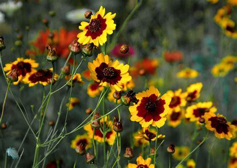 Plains Coreopsis (Coreopsis tinctoria)   Lorenz's OK Seeds