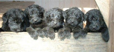 german shepherd poodle mix puppies shepadoodle german shepherd poodle mix info puppies pictures