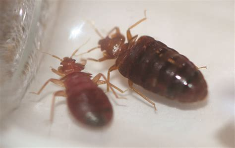 what do bed bugs smell like what do bedbug bites look like what do bed bugs look like
