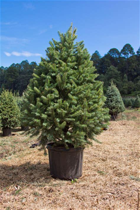 reforestaci 243 n de 225 rboles de navidad toque de mujer