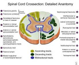 spinal cord cross section detailed anatomy