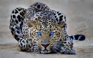 Jaguar Cheetah Cheetah Hd Wallpapers Hd Wallpapers