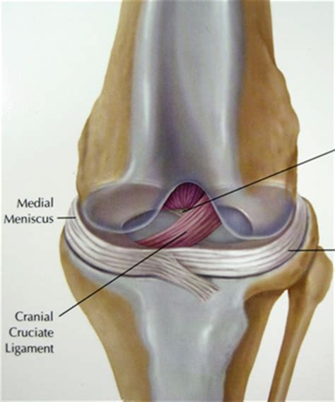 ccl in dogs anterior cruciate ligament in dogs photos breeds picture