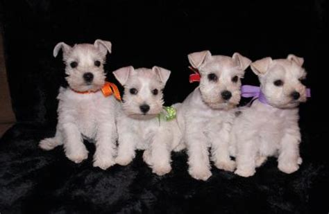 teacup schnauzer puppies for sale see some of our past beautiful pups