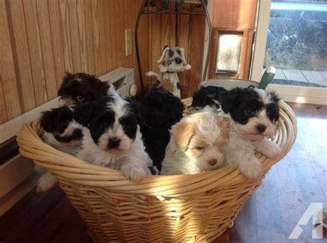 havanese puppies for sale in iowa home raised havanese puppies for sale in co bluffs iowa classified americanlisted