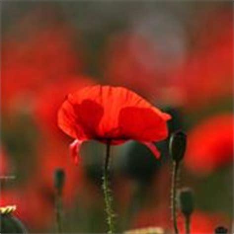 linguaggio dei fiori papavero papavero significato linguaggio dei fiori il