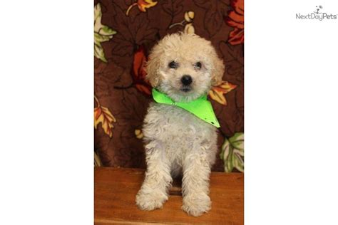 allergy friendly dogs meet honey s 3 a goldendoodle puppy for sale for 800 f1b