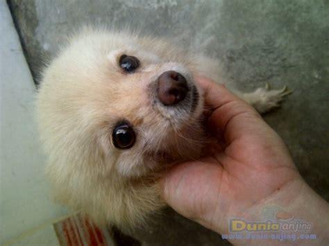 Anjing Pom Betina Dewasa dunia anjing jual anjing pomeranian borongan 5 anjing
