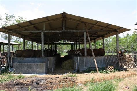 Anakan Kambing Potong analisa usaha penggemukan sapi potong skala 50 ekor