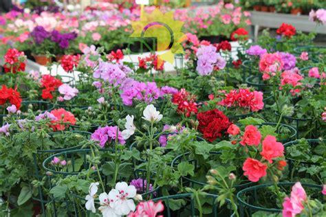 piante perenni da fiore perenni e annuali da fiore casanatura vivaio