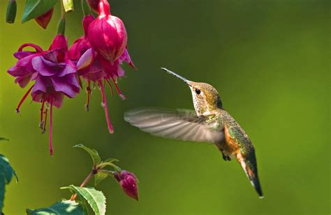 colorful hummingbirds colorful hummingbirds and flowers