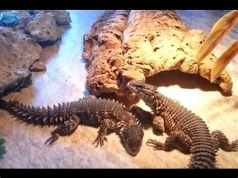 giant girdled lizards youtube