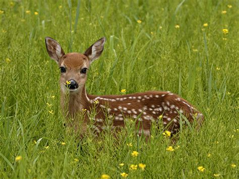 Deer With by Writer All Blessings Power Animal Deer