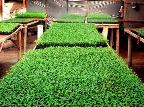 Agen Bibit Seledri 01 13 tanaman indonesia